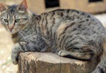 gattino soriano non sopporta affatto coda video