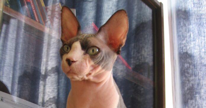 gattino sphynx salto