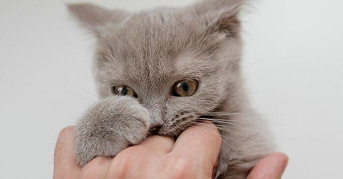 gattino tuxedo vuole giocare mano mamma video vedere