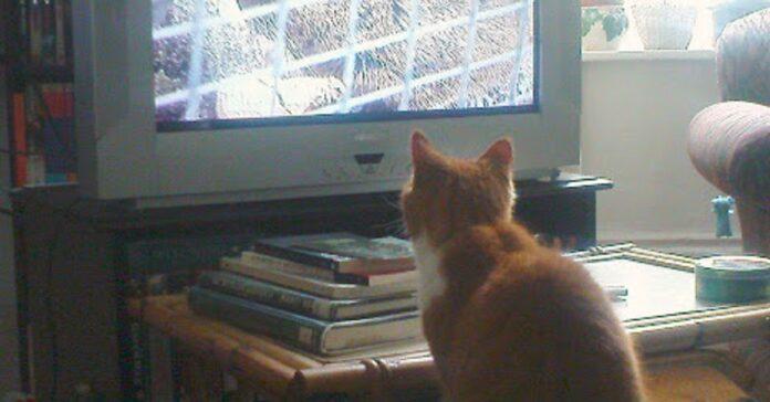 gattino puma televisione