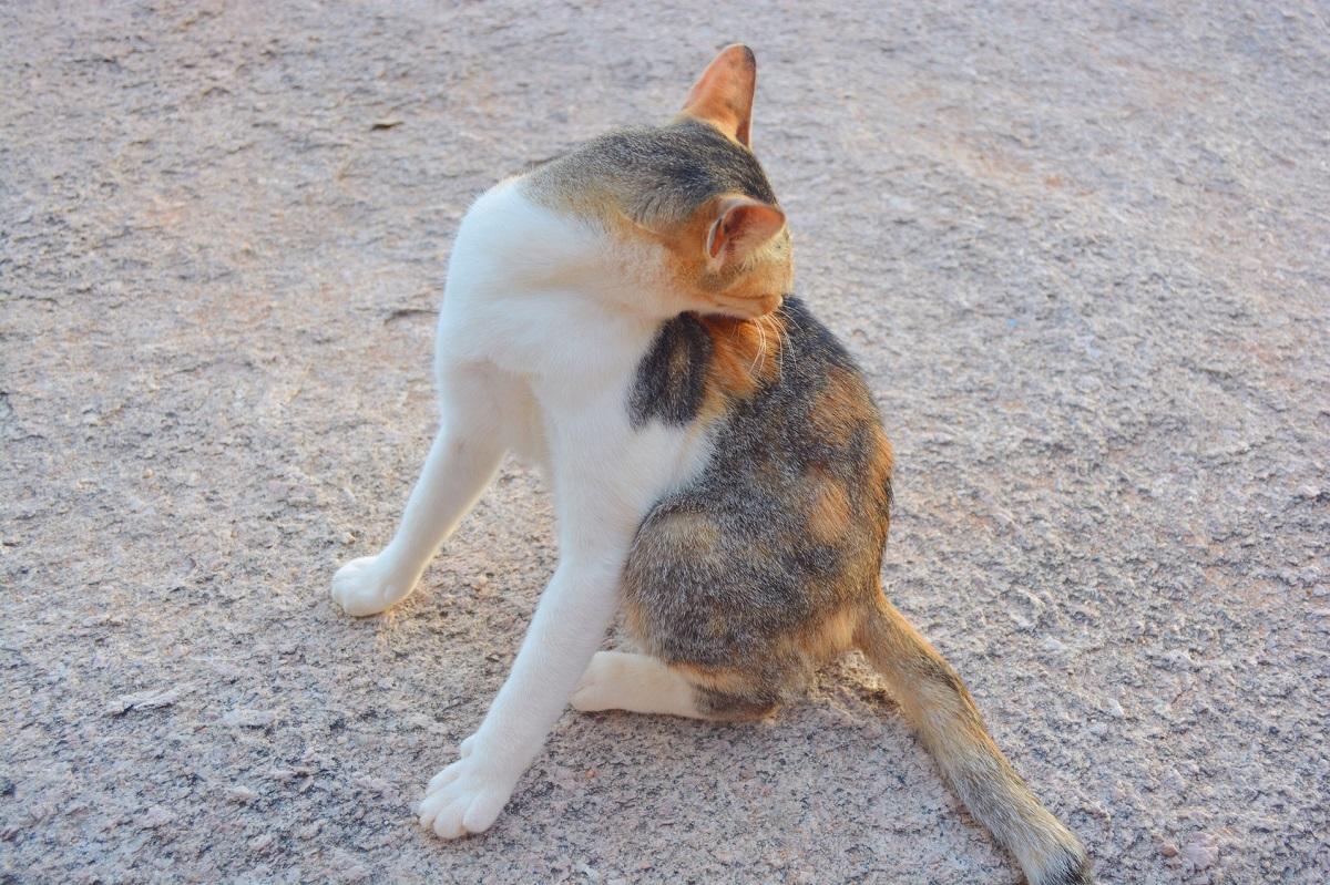 gatto multicolore per strada