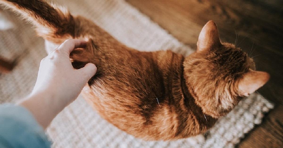 gatto con iperestesia