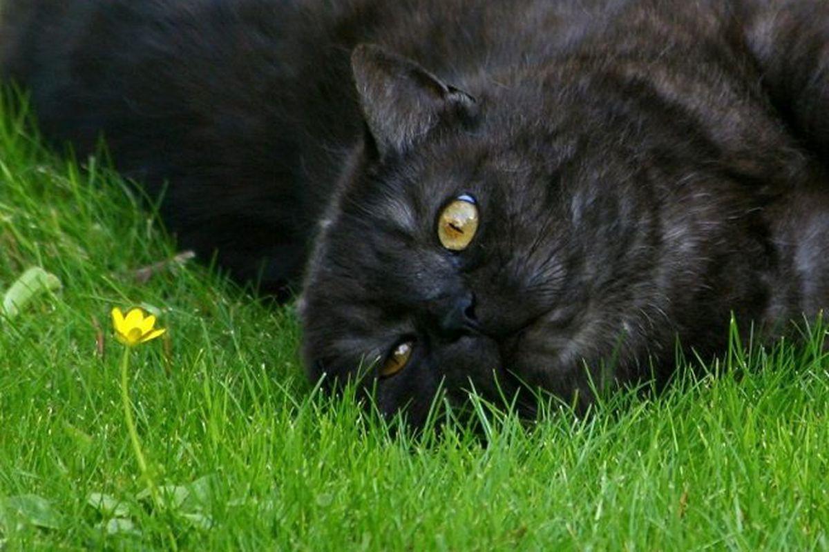 gatto nero su prato