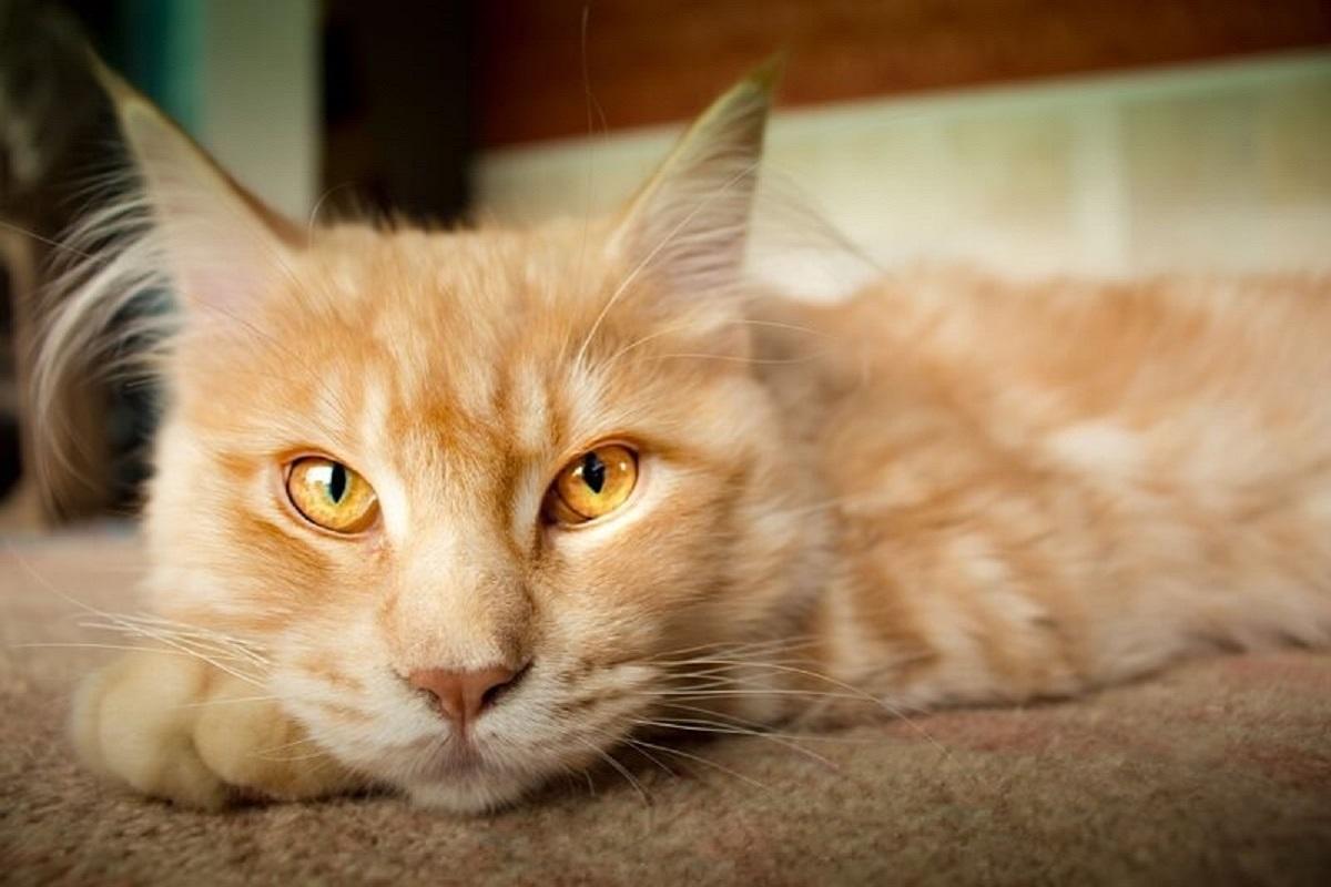 gatto con peli delle orecchie lunghi