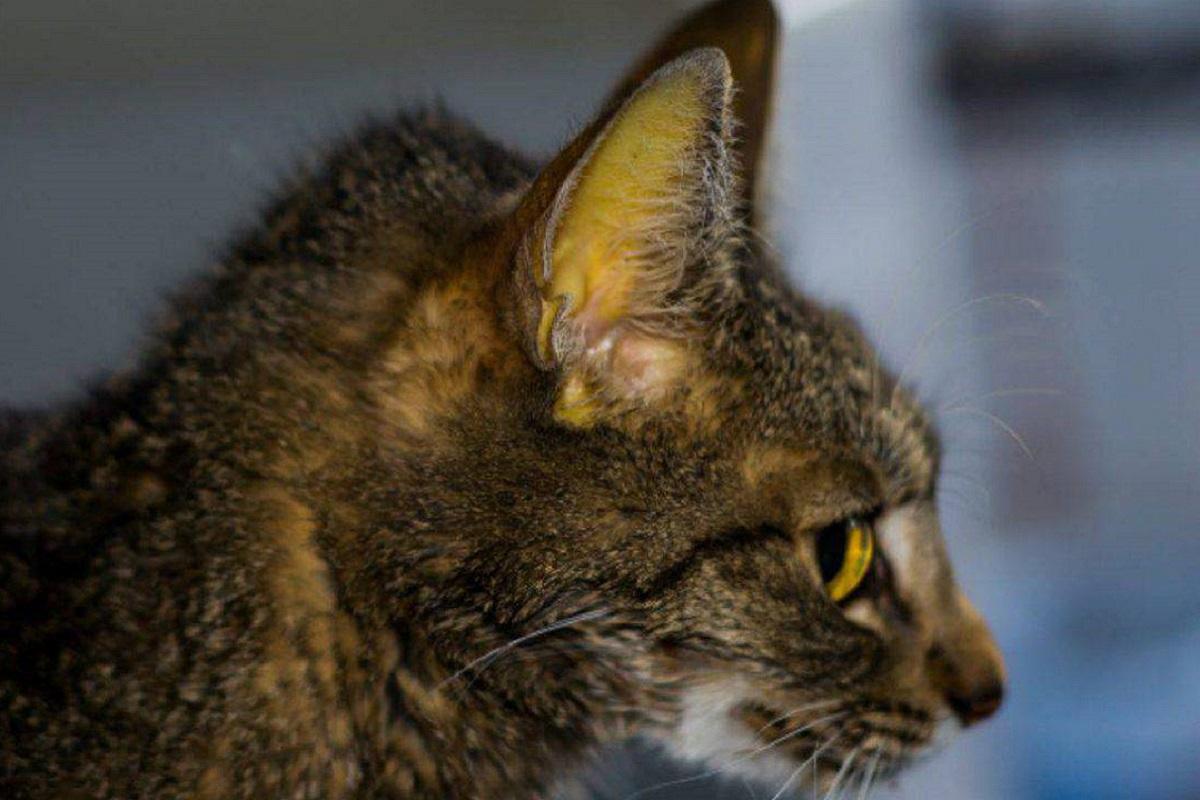 gatto con problemi al fegato