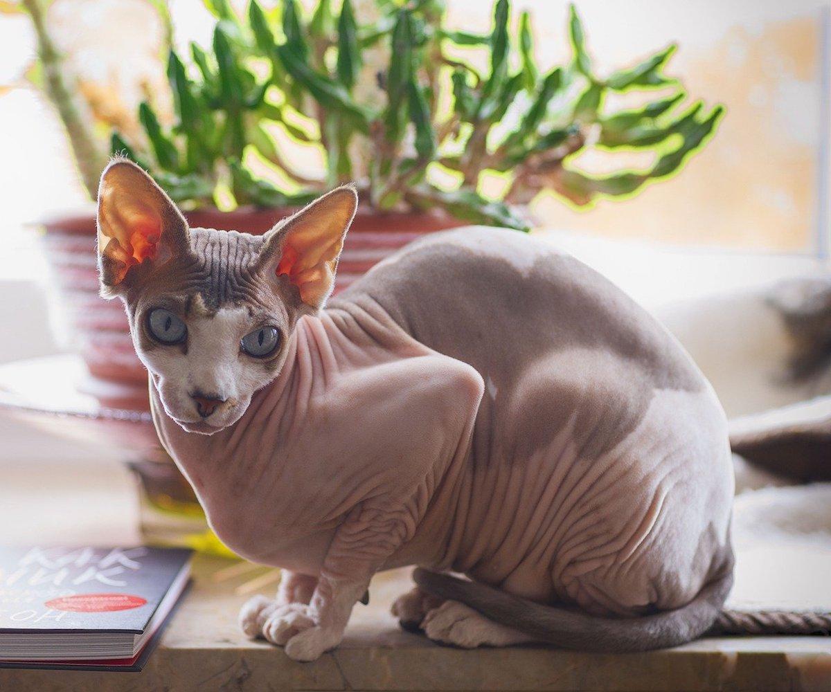 gatto nudo bicolore