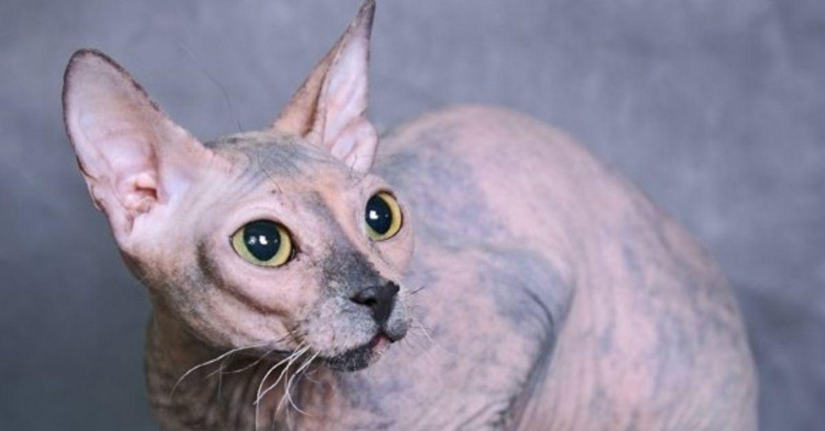 gatto e assenza di pelo