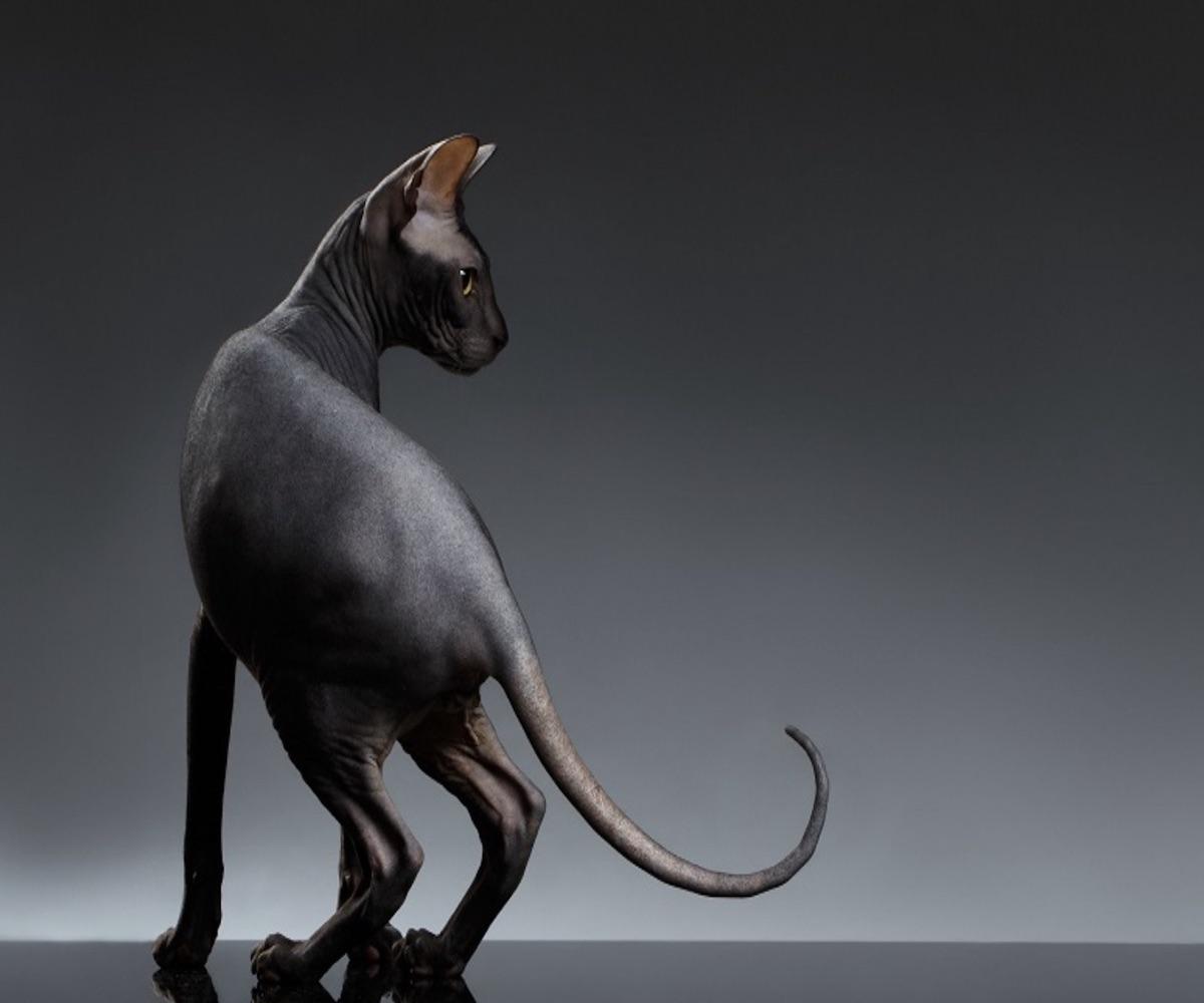 gatto coda arricciata