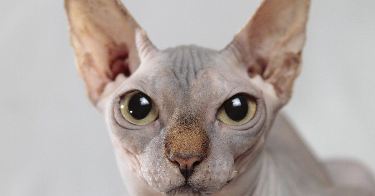 gatto nudo