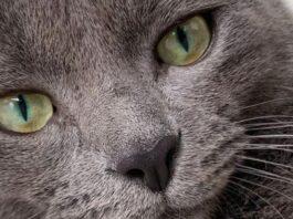 felino occhi verdi