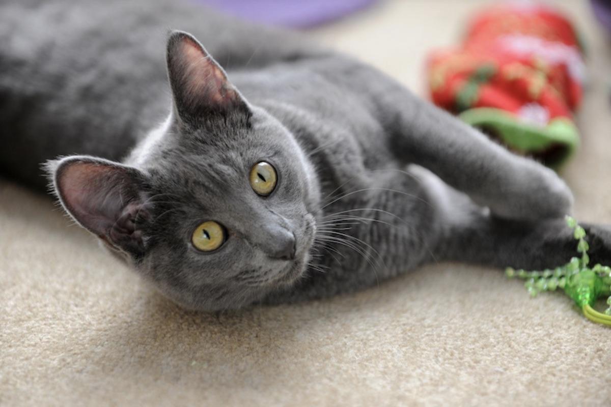 gatto grigio gioca
