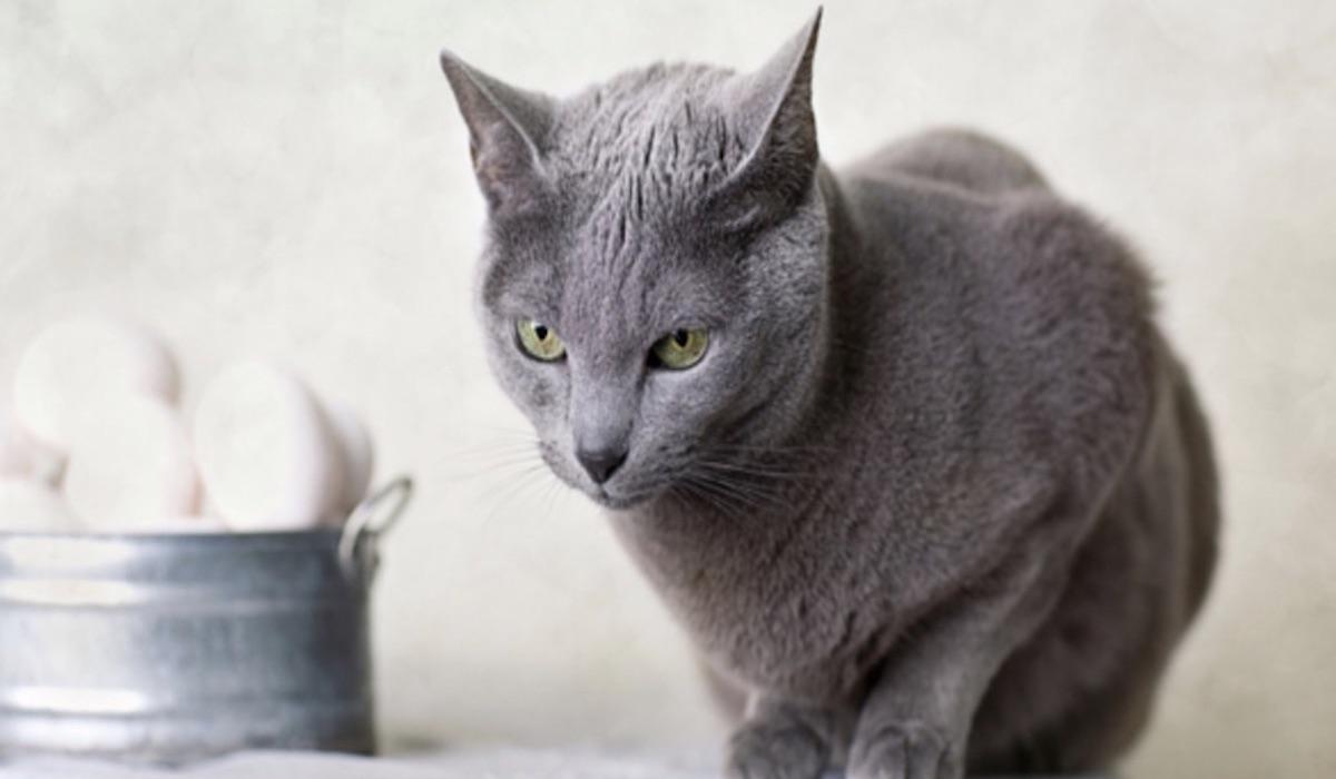 gatto fissa un punto
