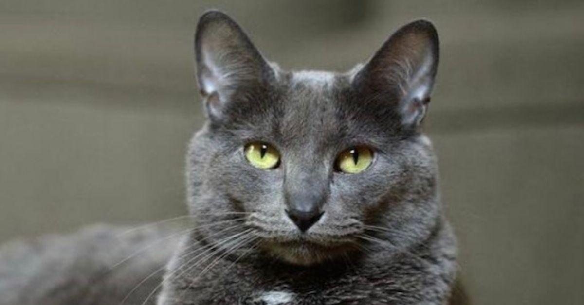 gatto pelo grigio e occhi gialli