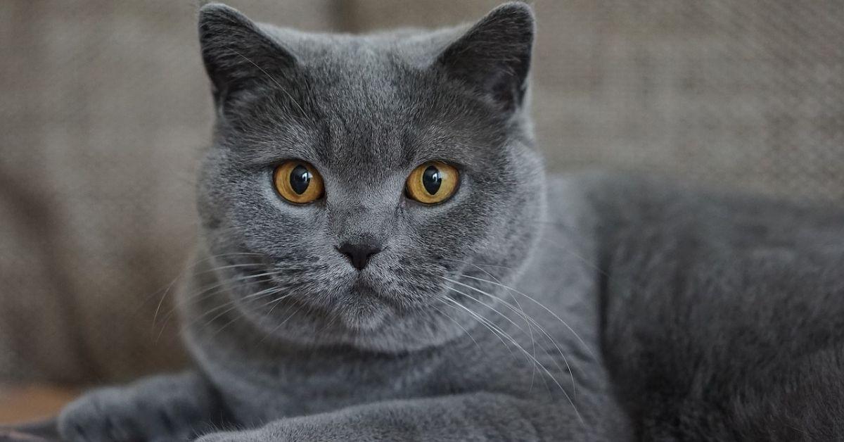 korat grigio