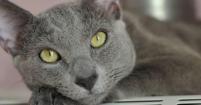 gatto sguardo bello