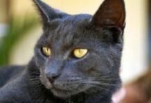 gatto occhi ambrati