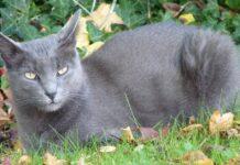 gatto korat sull'erba