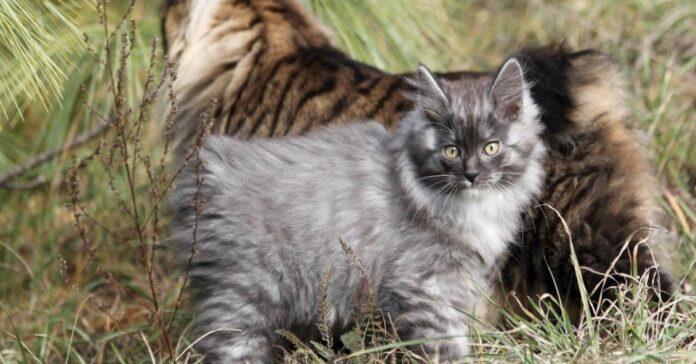 cucciolo felino coda corta