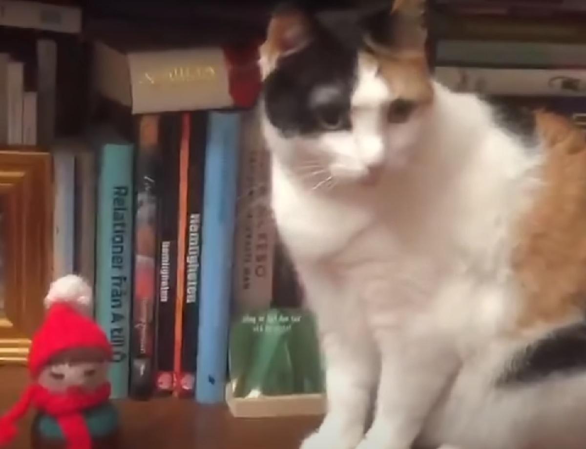 gattina calico pronta a buttare per terra oggetti