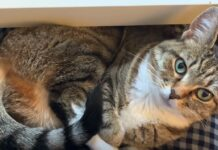 gattina soriano non vuole papà lavoro solo sue comparse ufficio