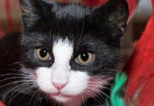 gattina tuxedo chiede abbraccio video