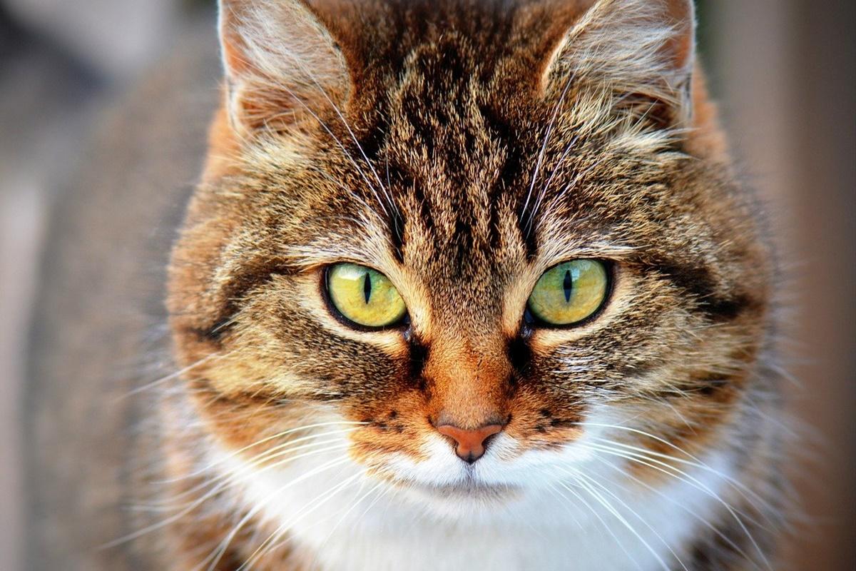 gatto tigrato molto grande