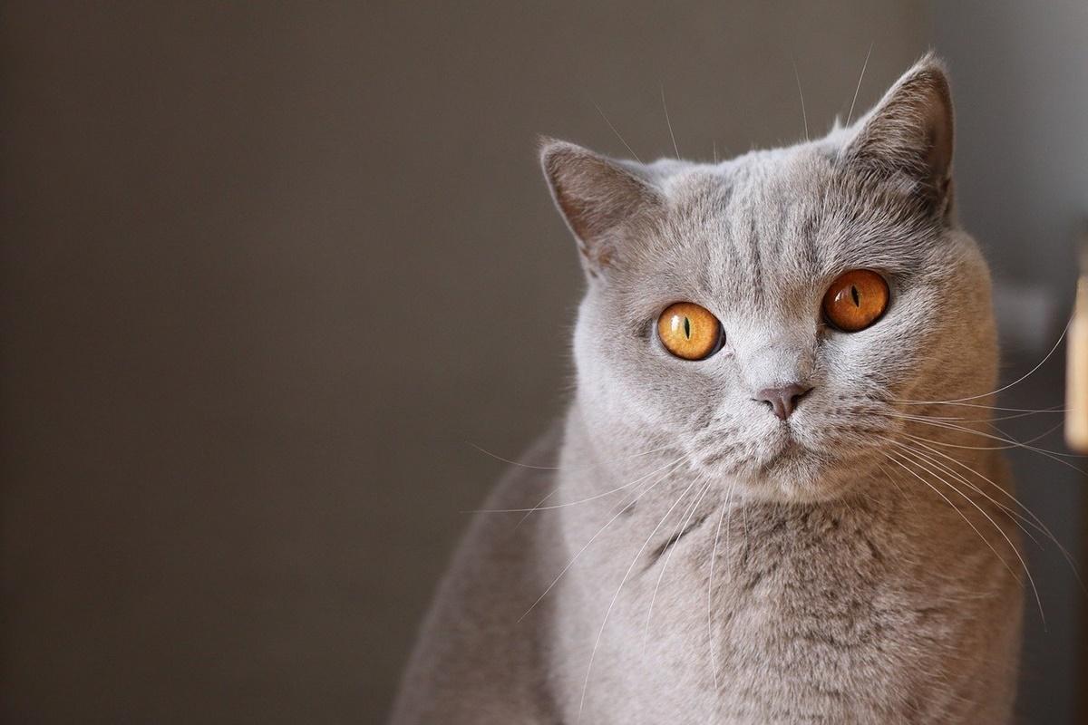 gatto certosino