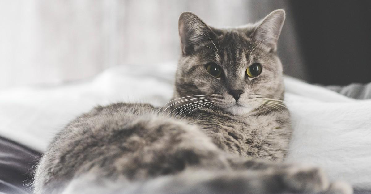 movimenti delle orecchie del gatto