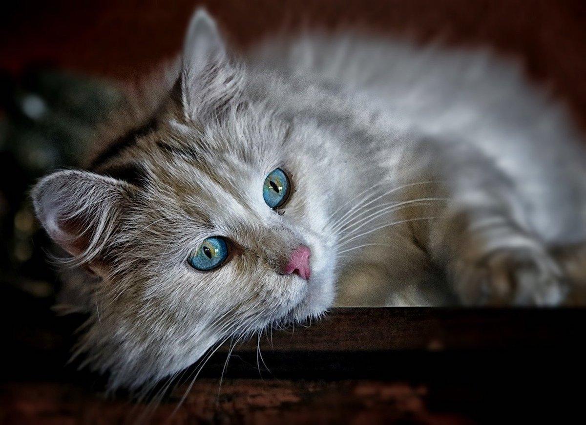 gatto occhi bellissimi