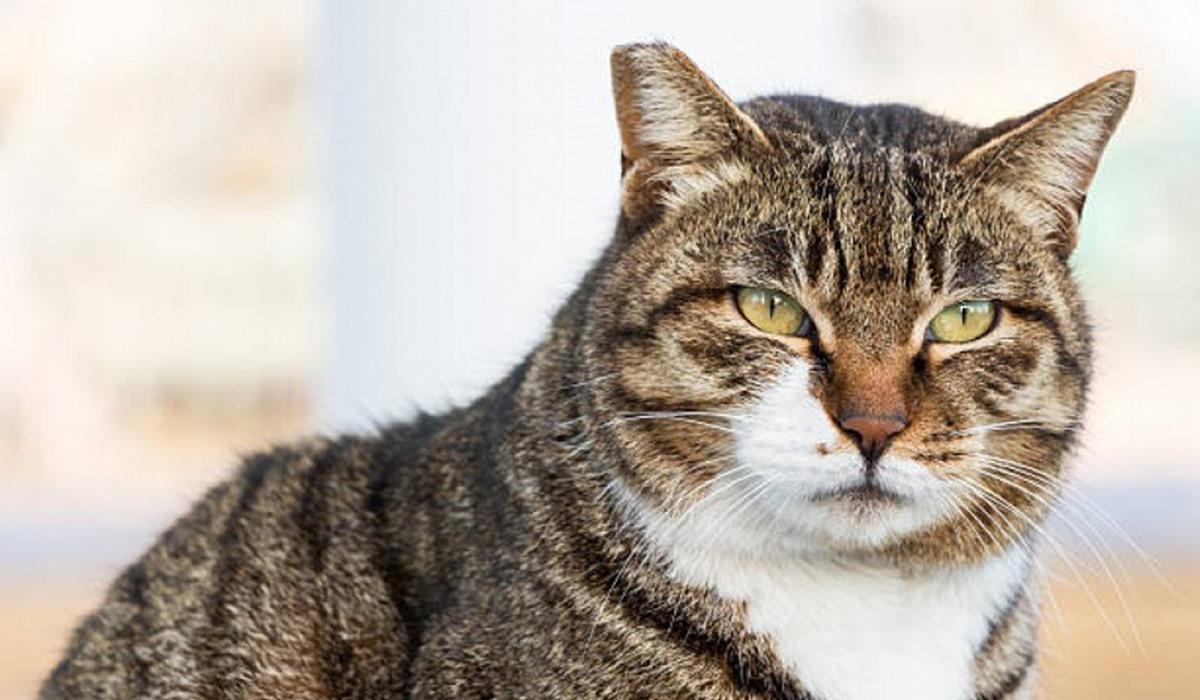 gatto anziano con il mantello tigrato