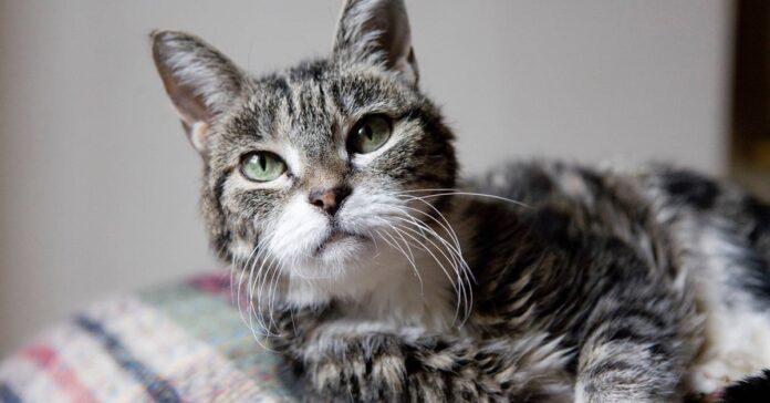 gatto anziano disteso sul cuscino