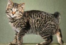 gattino coda corta