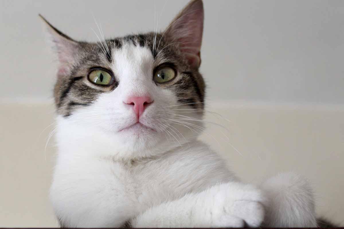 Gatto con faccia confusa