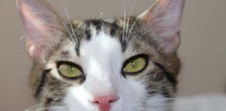 Gatto che guarda con sospetto