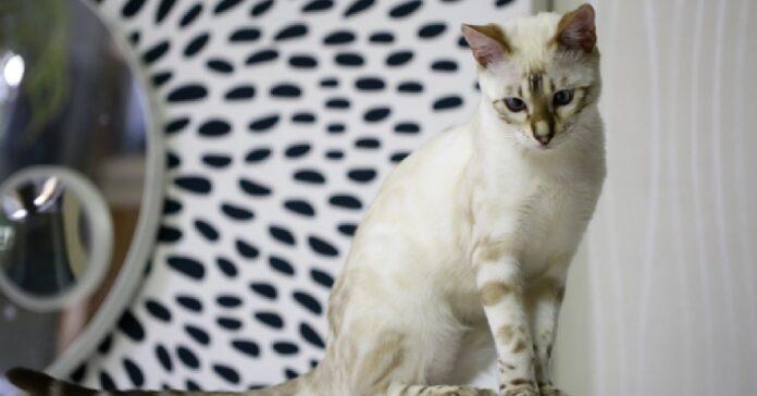 gattino bengala se la prende con la sua ciotola video