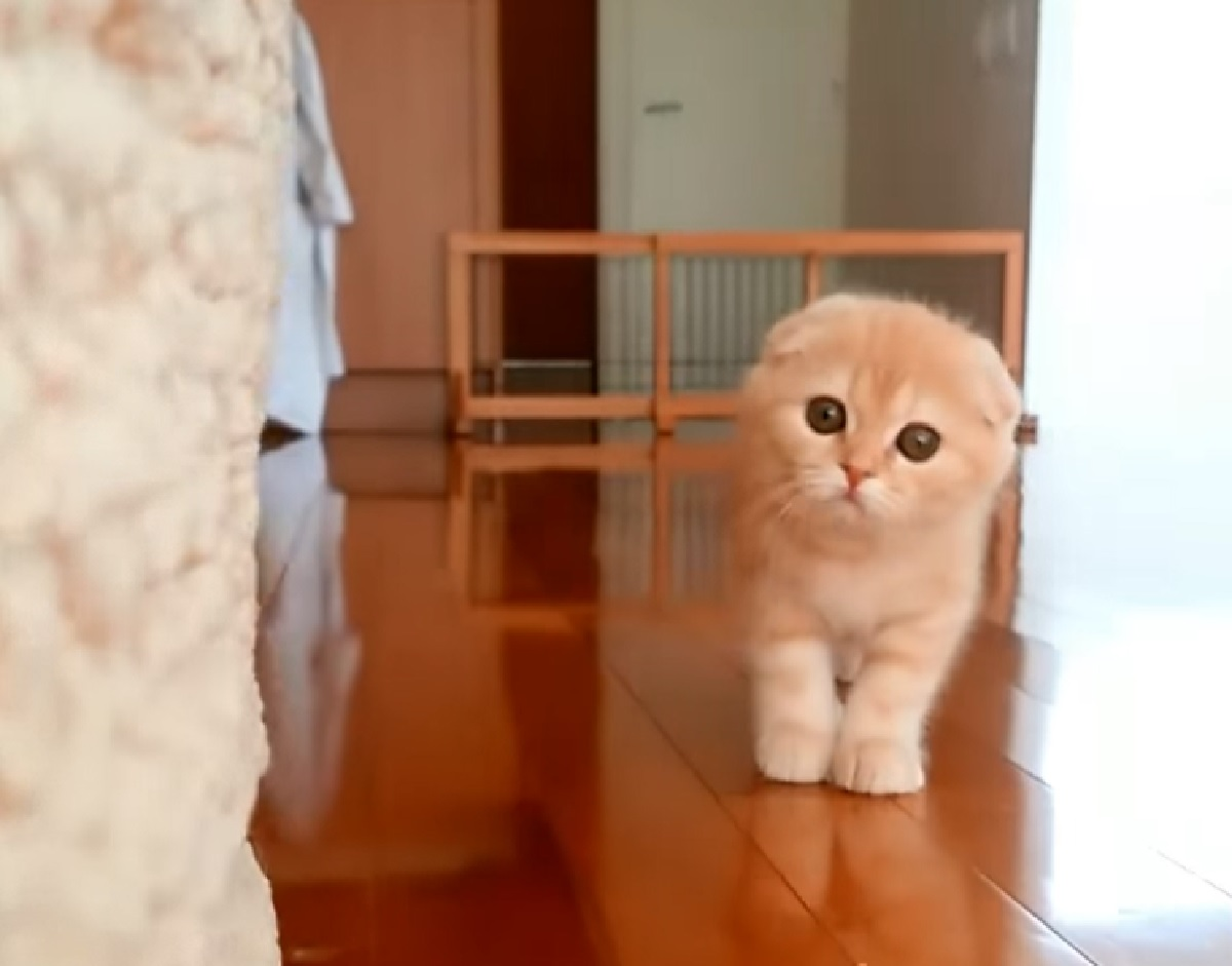 gattino scottish fold suspense