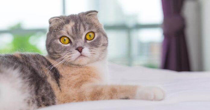questo gattino scottish fold potrebbe tranquillamente recitare film horror video
