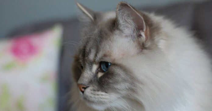 gatto razza ragdoll