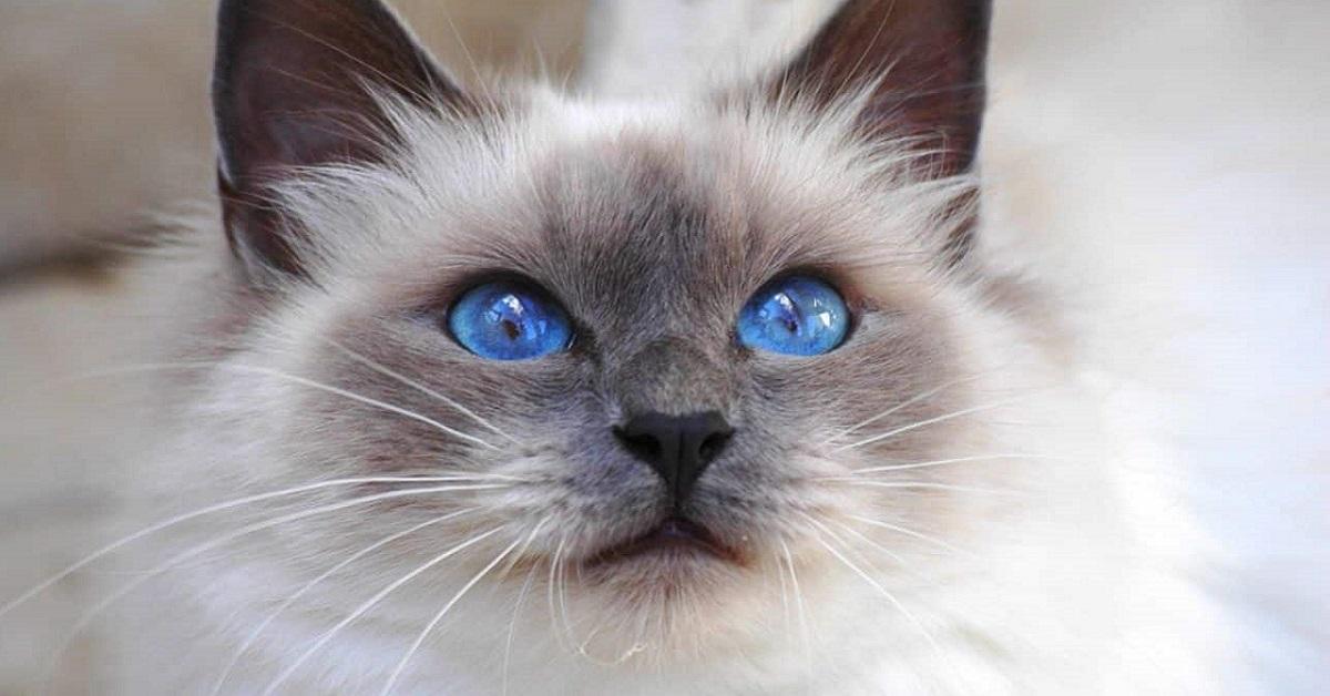 gatto sacro di birmania