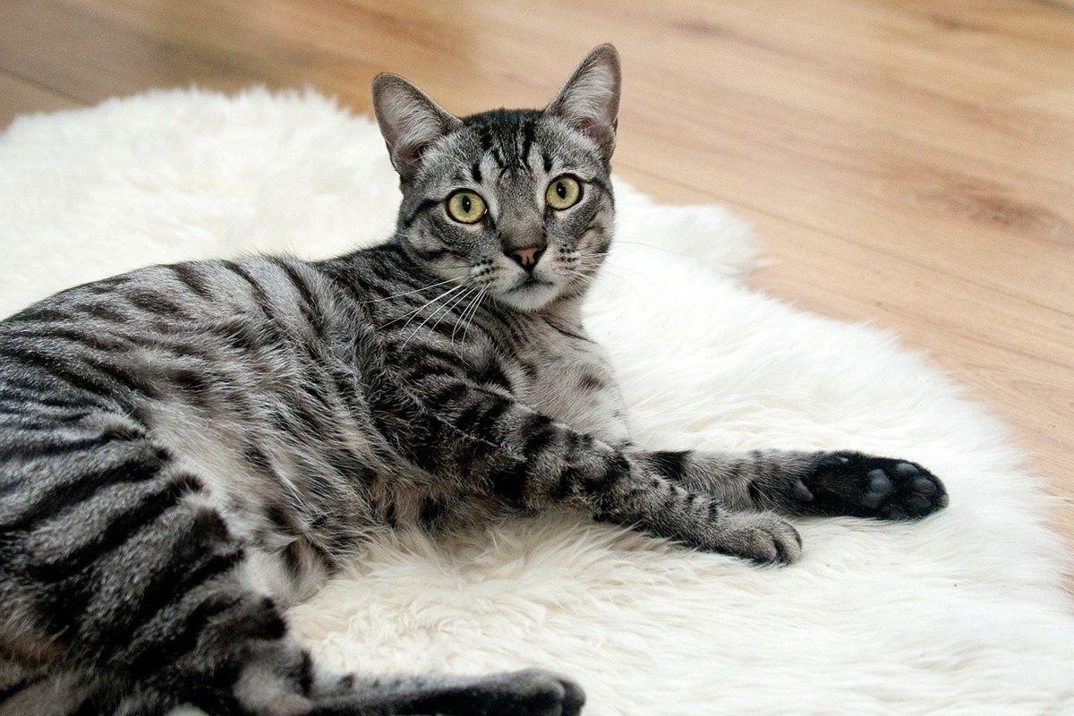 gatto con il mantello grigio a macchie nere