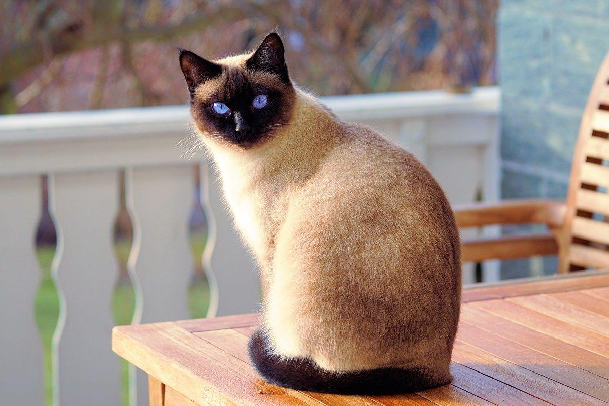 gatto siamese a pelo corto
