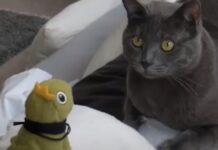 gattino certosino ed una rana giocattolo condividono un rapporto video