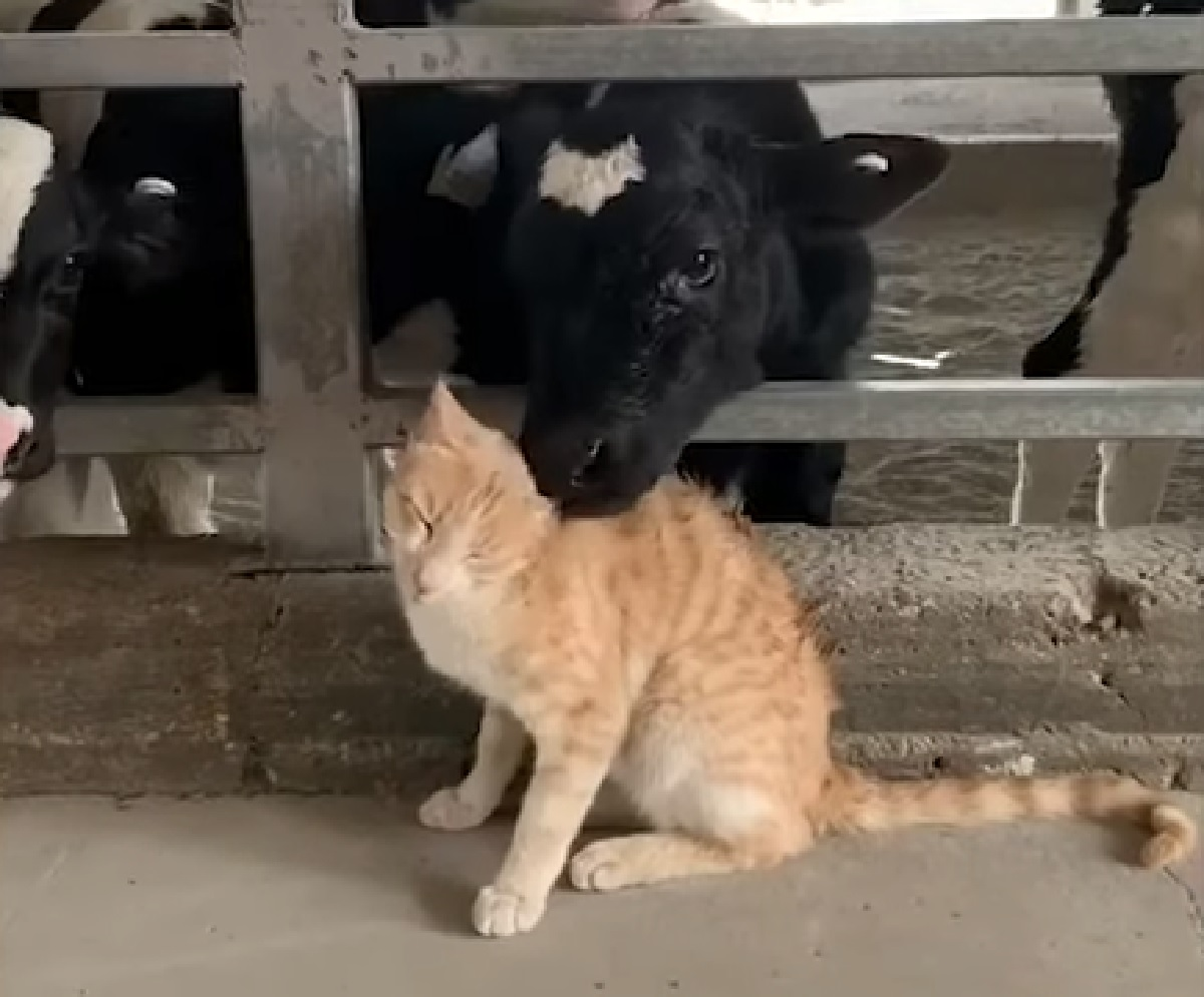 gattino rosso baci mucche