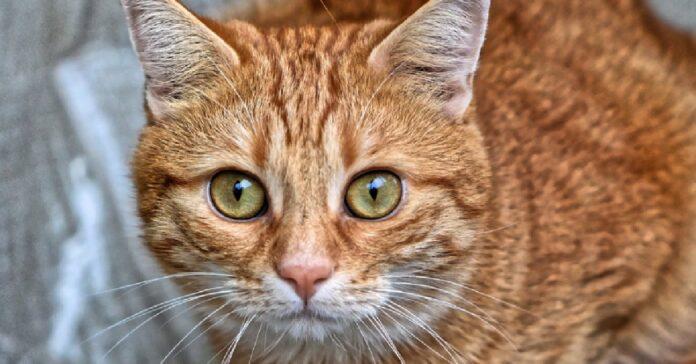 gattino rosso diventa migliore amico mandria amicizia video