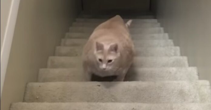 gatto obeso sale le scale