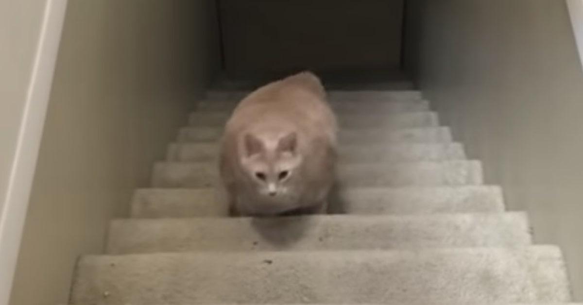 gatto sovrappeso sale le scale