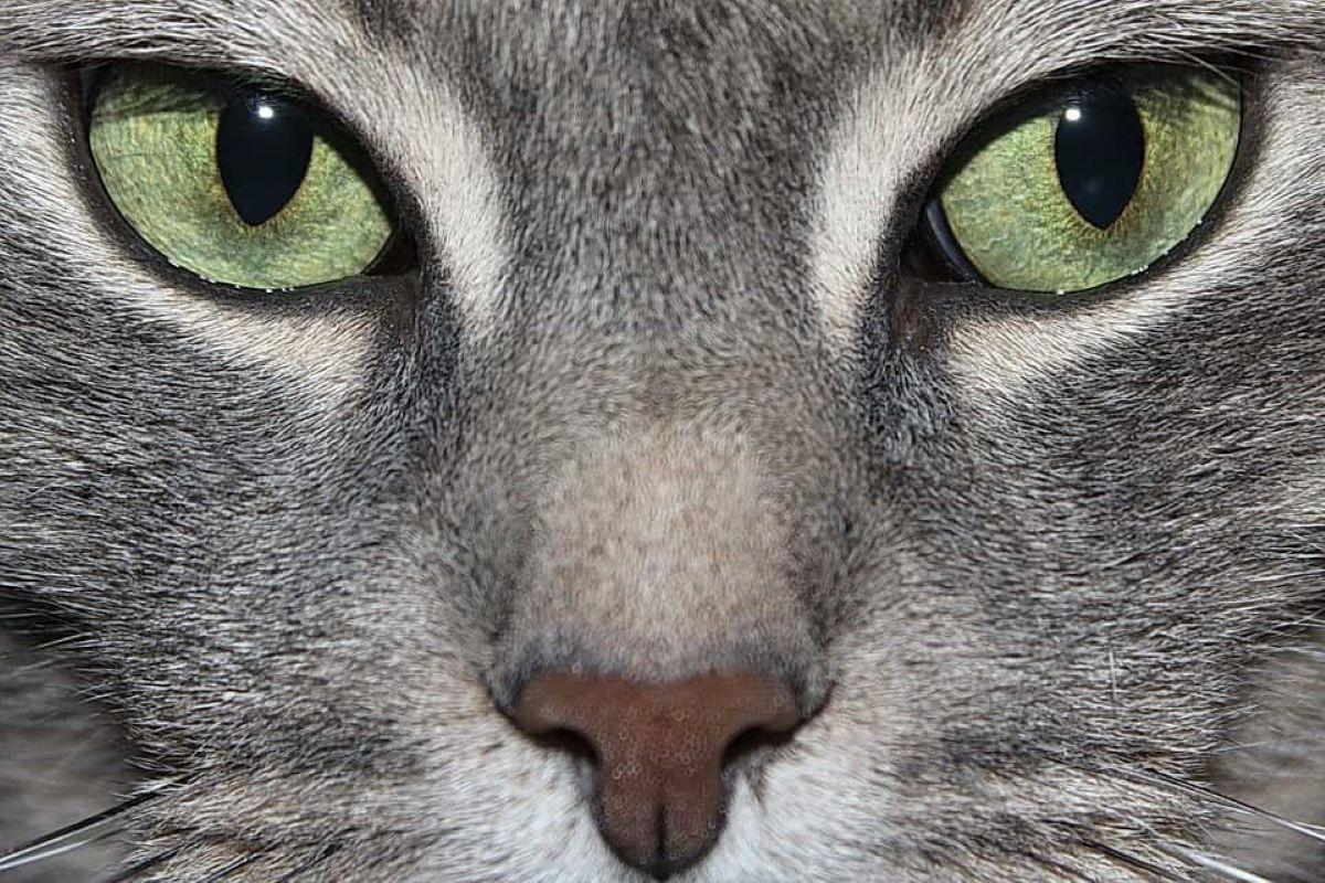 come pulire gli occhi del gattino