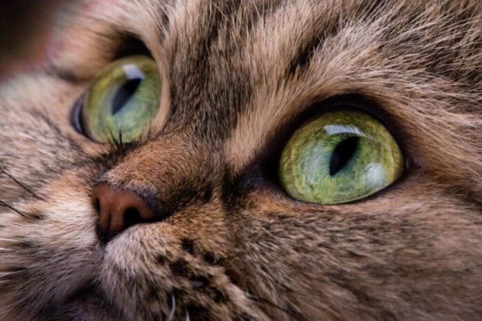 come curare gli occhi dei gattini