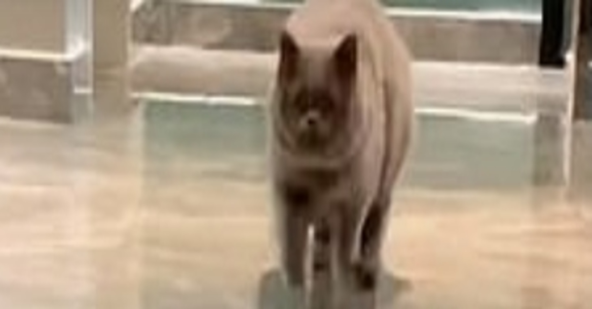 Fu Fu gattino British shorthair video