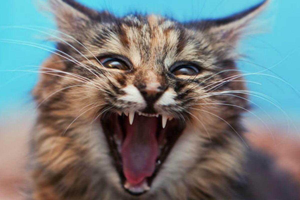 gatto che soffia